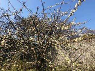 Damson blossom - 08042019