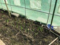 Garlic - 30032019