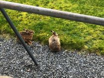 Hares - 24032019