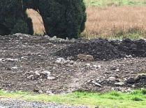 Hares on Ha Ha 1- 02052019