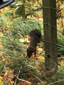 Red squirrel 6 - 12102018