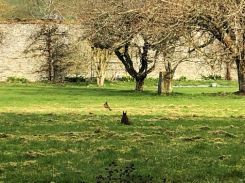 Squirrel on lawn 2 - 30032019