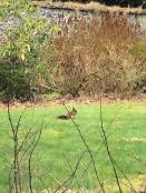 Squirrel on lawn 3 - 24032019