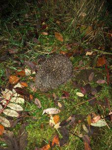 Hedgehog 1 - 14112019