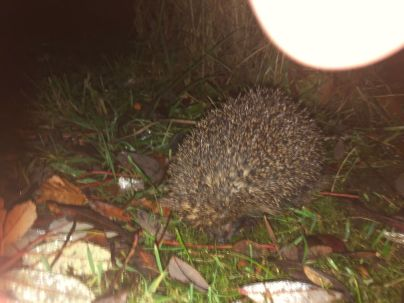 Hedgehog 2 - 14112019