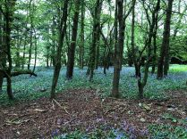 Bluebell woods 2 - 22052020