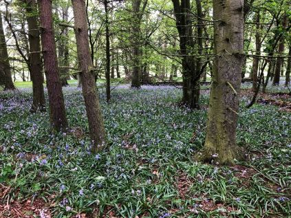 Bluebell woods - 22052020