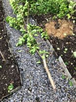 Damaged pear tree 2 - 22052020