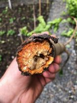 Damaged pear tree 3 - 22052020