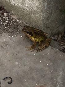 Frog - 15062020