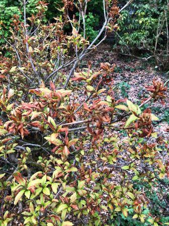 Frost damaged azalea - 21052020