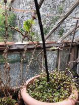 Grape vine 3 - 02052020