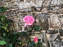 Pink rose 2 - 30052020