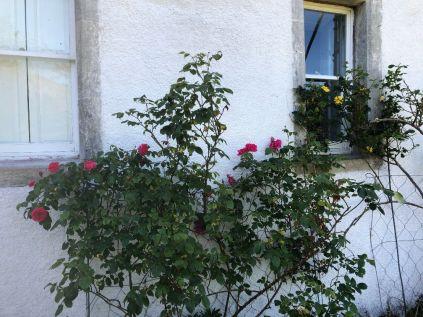 Pink rose - 30052020