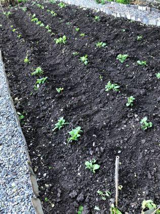 Potatoes 1 - 22052020