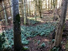 Snowdrops in woods - 29022020