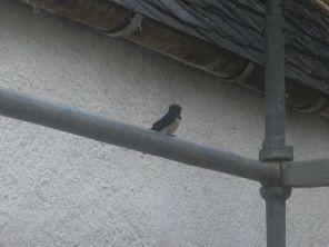 Swallow - 07052020