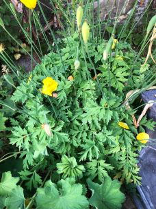 Welsh poppy - 17062020